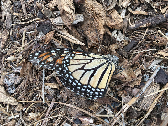 dead monarch in the garden