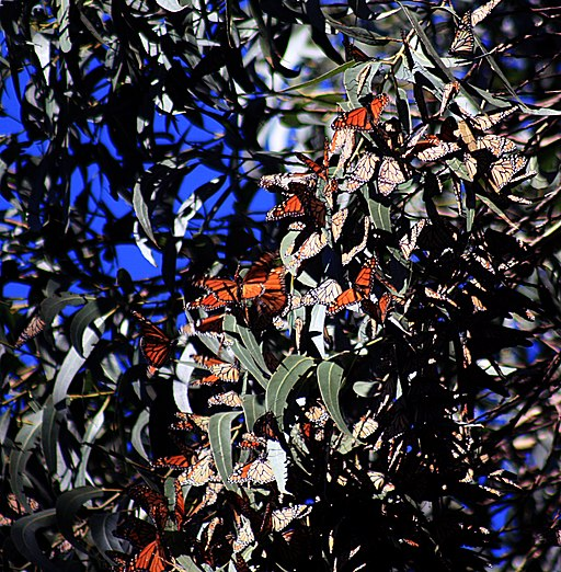 wintering monarch butterflies by Brocken Inaglory