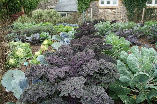 redbor kale mixed with other brassicas